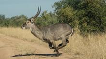 Waterbuck Antelope Running In ...