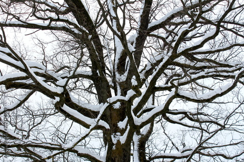 Fotografía  Mighty tree trunk with large branches completely covered in fresh winter snow on