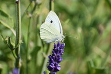 A Beautiful White Brimstone Bu...