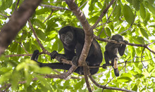 Mother And Baby Howler Monkey ...