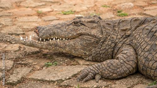 Foto op Plexiglas Krokodil Crocodile with his face half bitten off