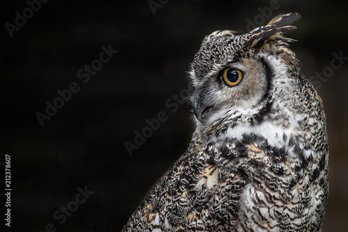 A close up profile portrait of a Canadian great horned owl looking over to a black background on the left