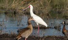 An African Spoonbill And Egyptian Goose Are Seen Along The Bank Of The Chobe River In Africa.