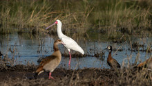 An African Spoonbill, Egyptian Goose And Duck In A Marsh Along The Chobe Rive In Botswana.