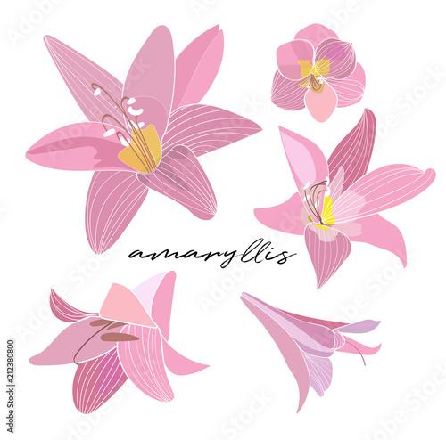Photo amaryllis vector elements. pink flower illustration drawing.
