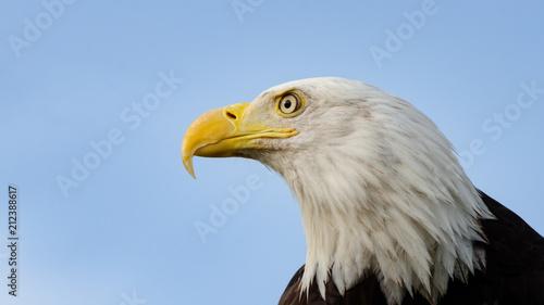 Poster Eagle Bald Eagle Profile