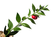 Butchers-broom Stem With Red F...