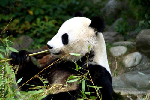 Grosser Panda Beim Fressen Von Bambus Buy This Stock Photo And
