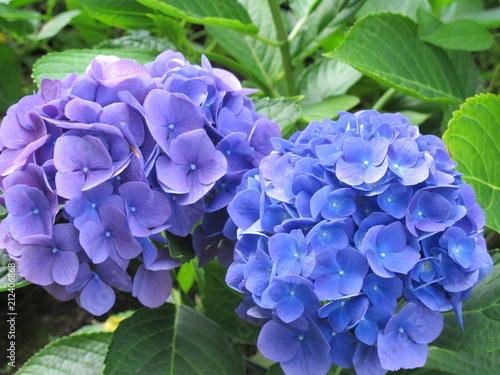 Foto op Aluminium Hydrangea Purple Hydrangea Blooms