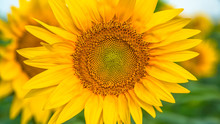 Sunflowers In The Field Close Up