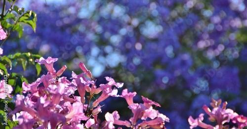 Fiori Jacaranda.Fiori Rosa Di Bignonia Con Sfondo Azzurro Di Fiori Di Jacaranda