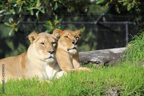Zdjęcie XXL Leniwy lwica