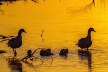 Egyptian Goose In Kruger National Park, South Africa