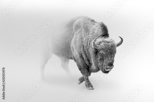 In de dag Buffel bison walking out of the mist greyscale image