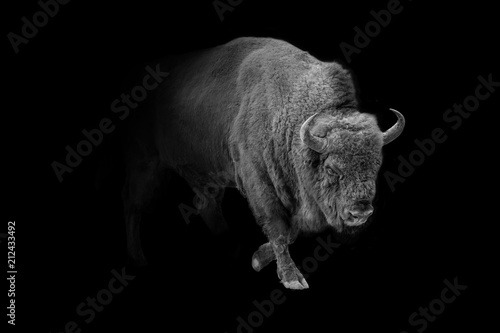 Montage in der Fensternische Bison european bison animal wildlife wallpaper