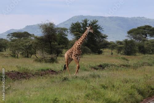 Poster Giraffe Giraffe, Masai Giraffe, Serengeti