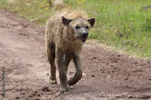 Keuken foto achterwand Hyena Hyena, old Hyena, Serengeti
