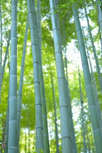 Nature background green Bamboo forest in Japan
