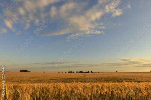 Foto auf Gartenposter Landschappen Field with young rye in evening.