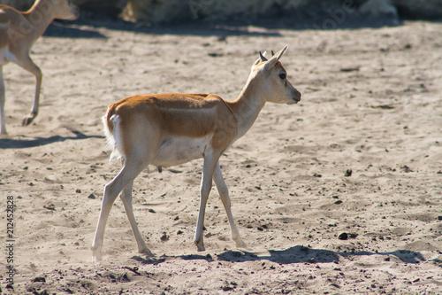 Poster Antilope antilope