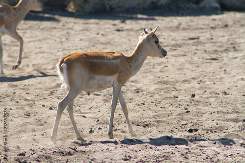 Spoed Foto op Canvas Antilope antilope