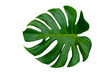 canvas print picture Monstera leaves leaves with Isolate on white background Leaves on white