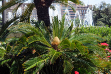 Female Cone Of Sago Palm Tree, Flowering Plant Of Cycas Revoluta In Spain Garden