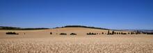 Panorama Mit Getreide Auf Einem Weitem Feld, Vor Einem Kleinen Hügel Und Blauem Wolkenlosen Himmel
