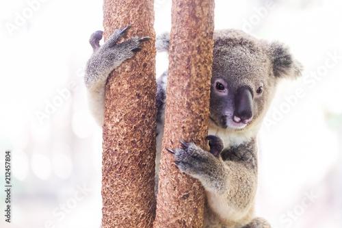 Staande foto Koala A wild Koala climbing a tree