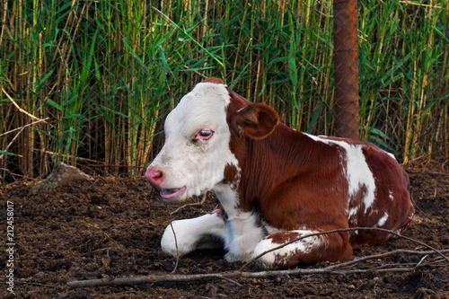 pretty red and white little calf sitting alone. young cow. Poster