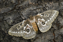 Zig-Zag Emperor Silkmoth - Gonimbrasia Tyrrhea, Beautiful Large Moth From African Forests And Bushes.