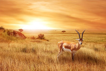 Lonely Antelope (Eudorcas Thomsonii) In The African Savanna Against A Beautiful Sunset. African Landscape.