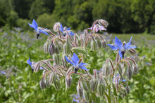 Borretsch (Borago Officinalis)...