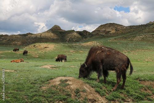 La pose en embrasure Bison American bison, Theodore Roosevelt National Park, North Dakota