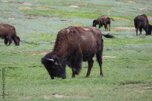 Staande foto Bison Bison grazing in prairie, Theodore Roosevelt National Park