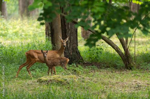Foto op Plexiglas Ree Chevrette et son faon dans la forêt