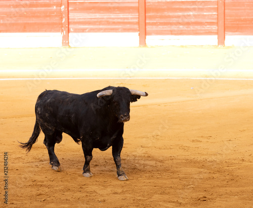 black bull in a bullring