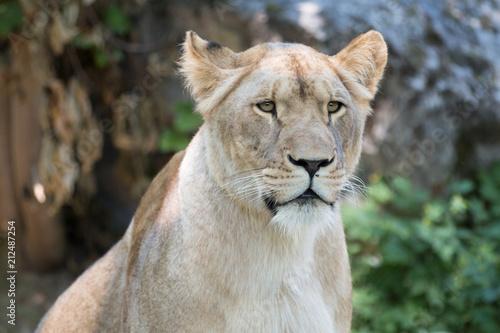Zdjęcie XXL Portret Lwica (Panthera leo)