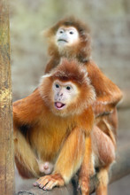 The Javan Lutung (Trachypithecus Auratus), Also Known As The Ebony Lutung And Javan Langur, Portrait.