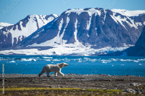 Spoed Fotobehang Ijsbeer Polar bear in south Spitsbergen.