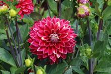 Flowering Dahlias In The Garden