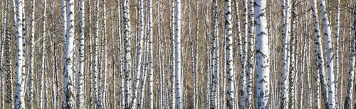 Fototapety, obrazy: Birch grove on a sunny spring day, landscape banner, huge panorama