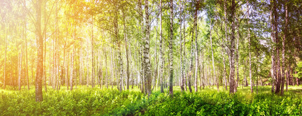 Panel Szklany Podświetlane Brzoza Birch grove on a sunny summer day, landscape banner, huge panorama