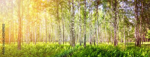 brzozowy-gaj-w-sloneczny-letni-dzien-sztandar-krajobrazowy-ogromna-panorama