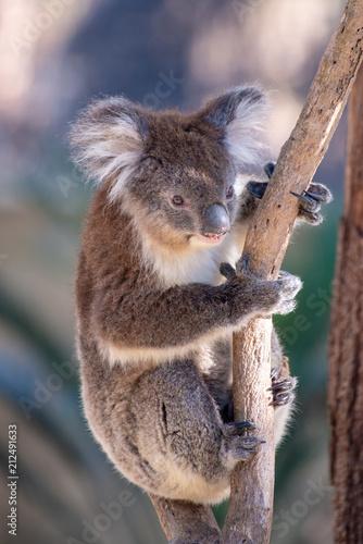 Staande foto Koala A cute koala in australia.