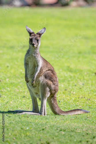 Kangaroo in National Park.