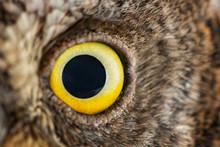 Owl Eye Close-up, Macro Photo, Eye Of The European Scops Owl (Otus Scops)