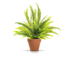 Fern In A Clay Pot On White Ba...
