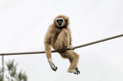 Carta da parati Gibbon ape 2