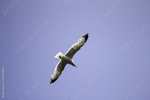 Seagull flying sky